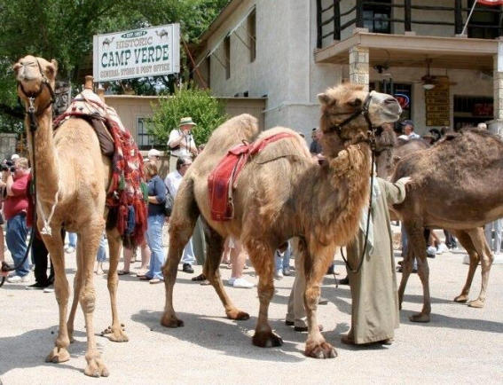 Camel Reenactment
