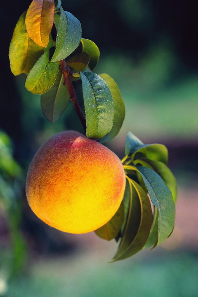 Pumpkins, Peaches, Apples & Pecans In Texas (TX) Hill Country